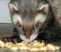 What is the best ferret food
