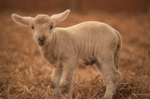 A lamb reminds us of the gentle breezes of March.