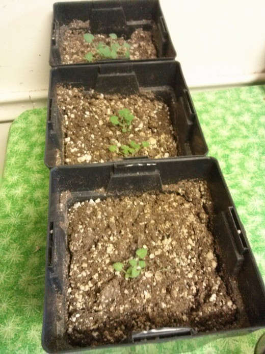 Another good tip! Bugs gathering in the home? Here are three cat nip seedlings. Catnip serves as a natural repellant for fleas and roaches, among other pests. Planting this around the home or inside of the home can decrease these pests.