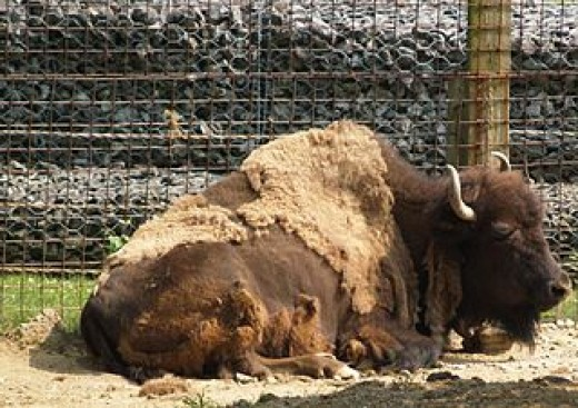 The American Buffalo at rest at Zoo America, in Hershey, Pennsylvania