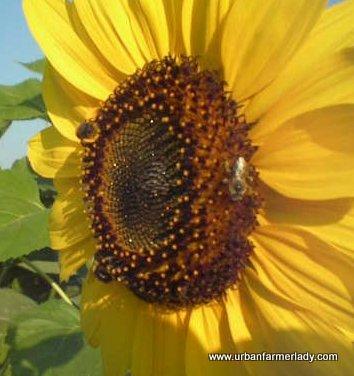 Untreated - Open Pollinated - True Organic Heirlooms Feed Pollinators