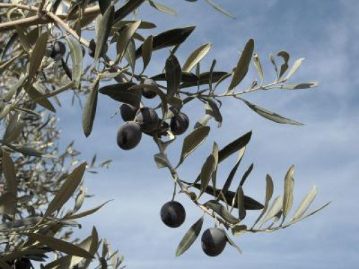 Ripe olives for the picking
