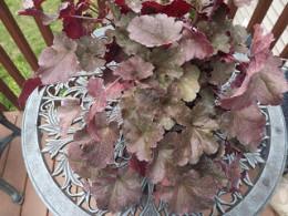 Rasberry Chiffon