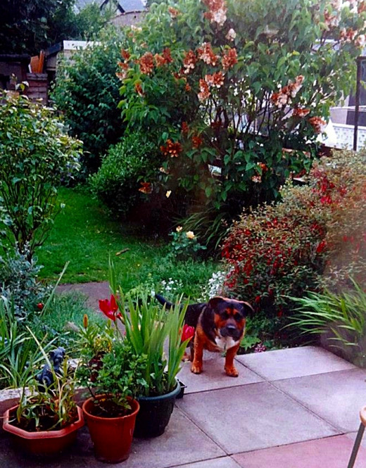 Harley's final resting place, my flower-filled back garden, where he used to lie in the sun with my rescue dog, Buster (pictured).
