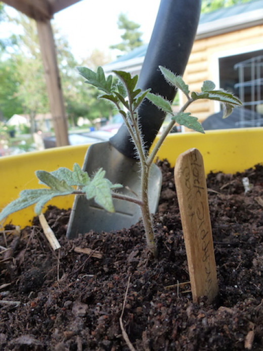 Bury the roots and stem, leaving only one or two sets of leaves above ground. Roots develop along the covered stem.