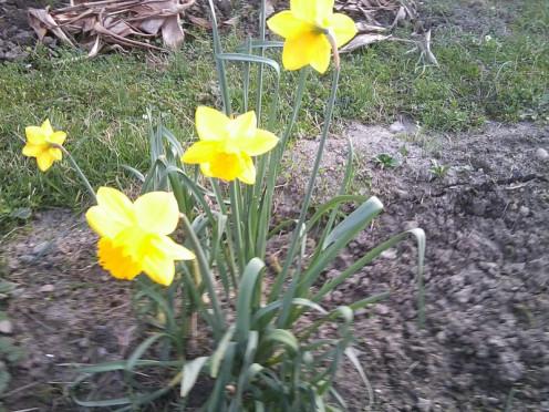 Single planting of a Daffodil.