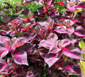 Coleus: Growing and Maintenance