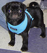 Buddy, a black Pug, in his Soft Harness from GollyGear.com