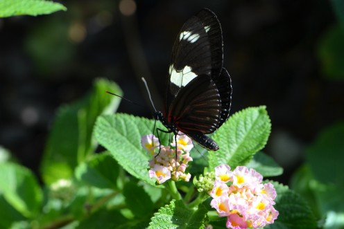 Butterfly enjoying a lantana flower