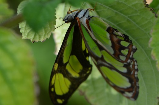 Hanging out, upside down, the lovely Malachite Butterfly