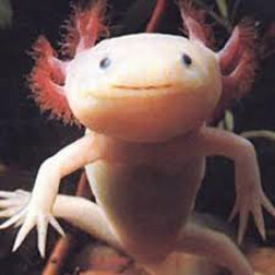 Our Very Own Gremlin:  The Axolotl
