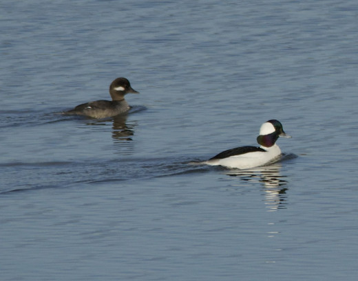 Bufflehead Pair(Male- Bottom)