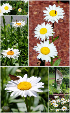 Shasta Daisy: A beautiful plant for the garden