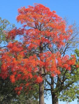 Illawarra Flame Tree