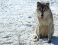 Did Humans Domesticate Dogs? or Wolves?