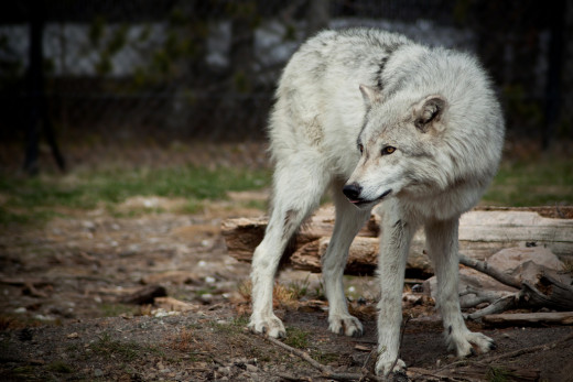A limited DNA analysis of seven dog breeds and 26 gray wolf populations from different locations has shown that the genotypes of dogs and wolves are either identical or differ by only one or two genetic markers.