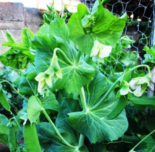 Growing Garden Peas: How To Grow Peas In Your Garden