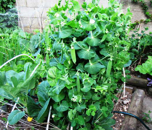 The peas are growing very well in this small garden.  They are well supported with the wrie