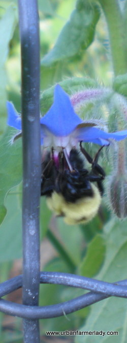 Bees Need True Organic Open Pollinated Plants to Fight Pesticides, Herbicides & GMO's