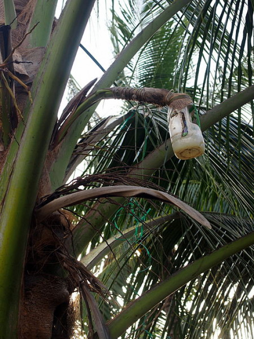 Palm wine Bottle on palm tree