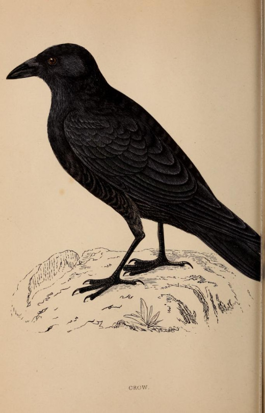 The Hooded crow has as many  of the habits of related Carrion crow . History of British Birds -Morrison