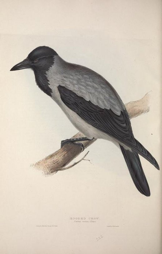 Gould--- Birds of Europe {1837}