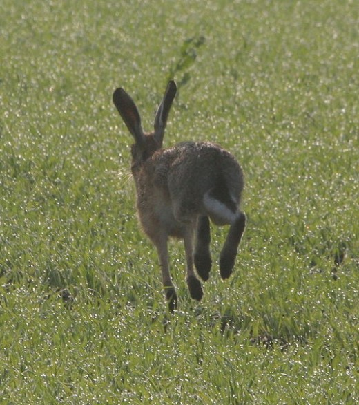 When hunters would hunt hares, after being shot many of these hares turned back into their human form...witches.