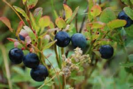 blueberries ready for picking
