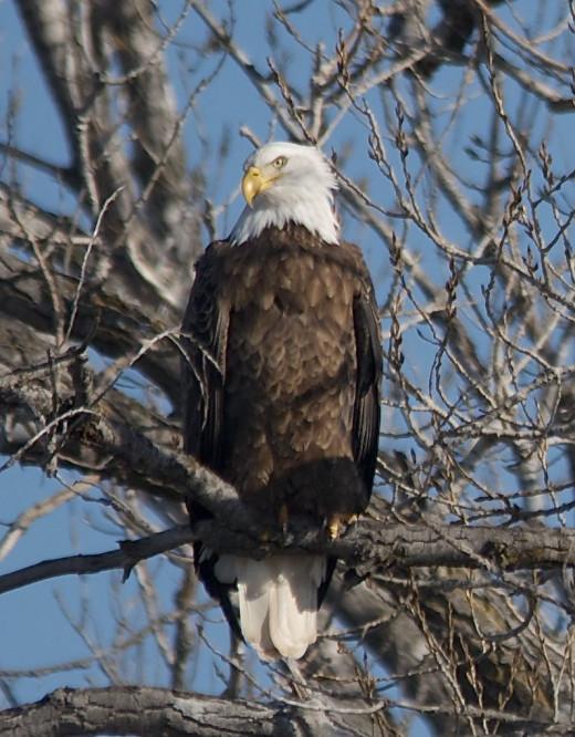 The Proud Bald Eagle