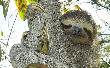 Three Toed Sloth found in Soberania National Park in Panama.