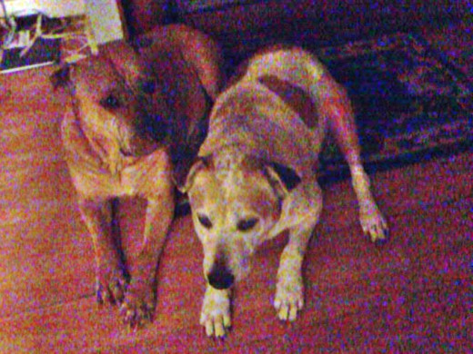 Millie (on the left) spent a lot of time with Squeaker after her surgery and appeared to be looking after her.