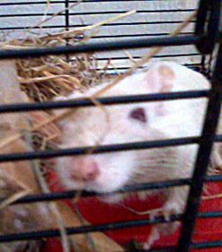 A Gerbil Escapes in a House with Four Cats - How Could He Possibly Survive?