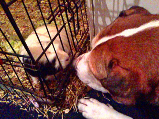 Happy Buster (pictured with George the guinea pig) is strangely fascinated by his smaller house-mates.
