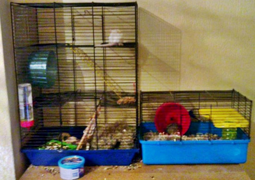 Neighbours: Flake the gerbil on the left and Titch the dwarf hamster.