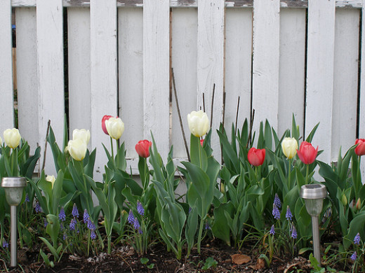 White and Pink Tulips with Muscari