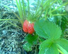 Strawberries ripen in mid-June.