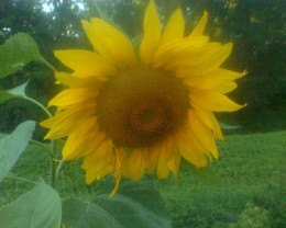 A sunflower graces  my garden. Her seeds are yummy, and I will plant the ones she makes in May.