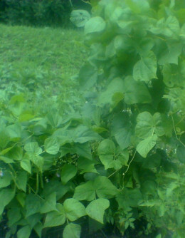 String beans are fun to munch while working outside in the early autumn.