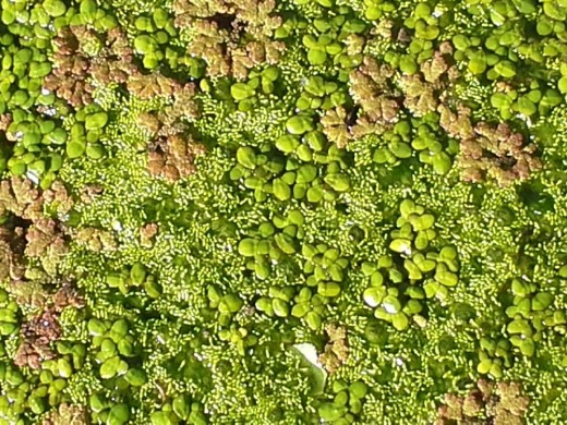 Small clumps of Azolla, Duckweed (Lemna minor and Wolffia borialis) the darker Spirogyra is visible with the oxygen bubbles poking through.