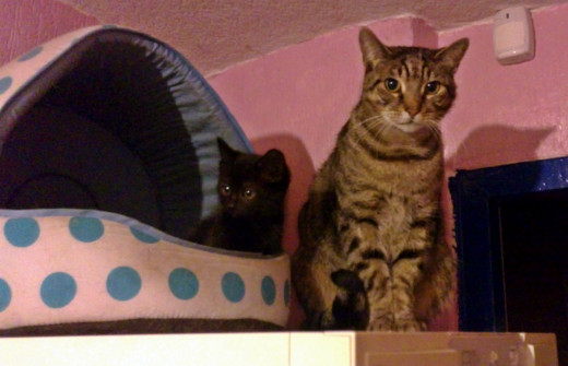 Pepper with Harley when he was a kitten. He allowed Harley to take over his bed the first time they met!