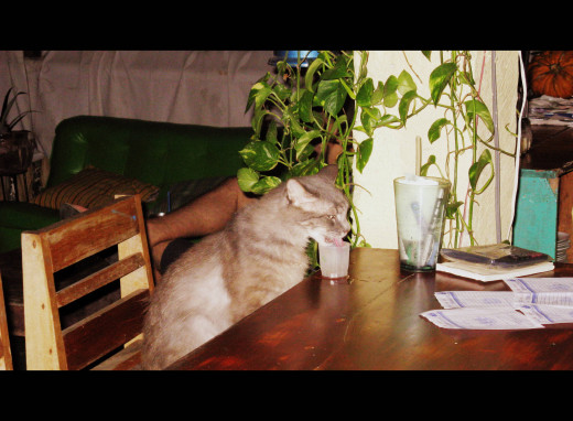 Shot drinking kitteh sitting at the bar at Il Terrazo. You can find him there on the same stool, every night at six.