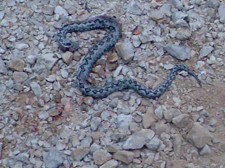 The Poskok snake found  close to our home