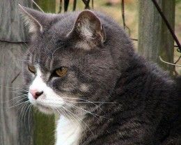 What does it mean if your cat's stomach is swollen?
