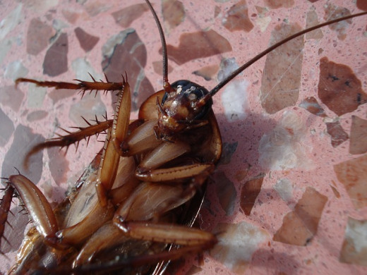 An American cockroach close up.  They are scavengers who like to eat decaying organic matter, including meat, pet food, beer, cheese, leather, glue, hair, and they particularly love fermented fruit.