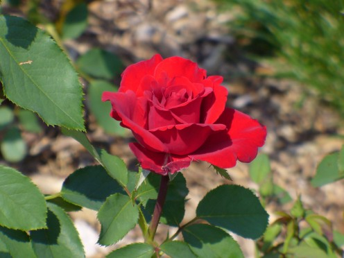 There is nothing quite like a simple yet beautiful red rose.