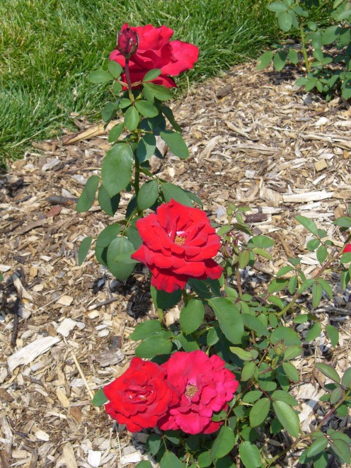 Picture of a bright red rose bush, very eye catching.