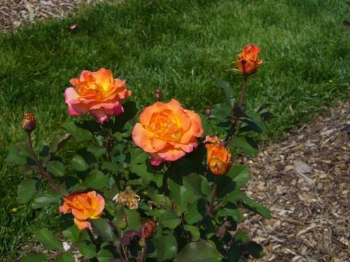 Beautiful yellow, orange, coral roses in bloom.
