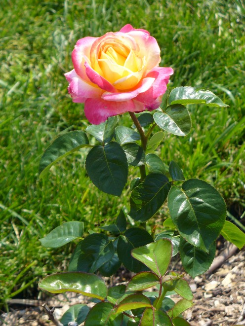 A very lovely yellow to pink colored, variegated rose.