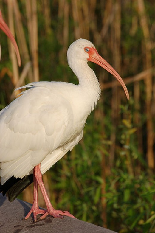 A beautiful White Ibis. This kind can be seen along the Atlantic Coast of the U.S. (particularly in Florida)