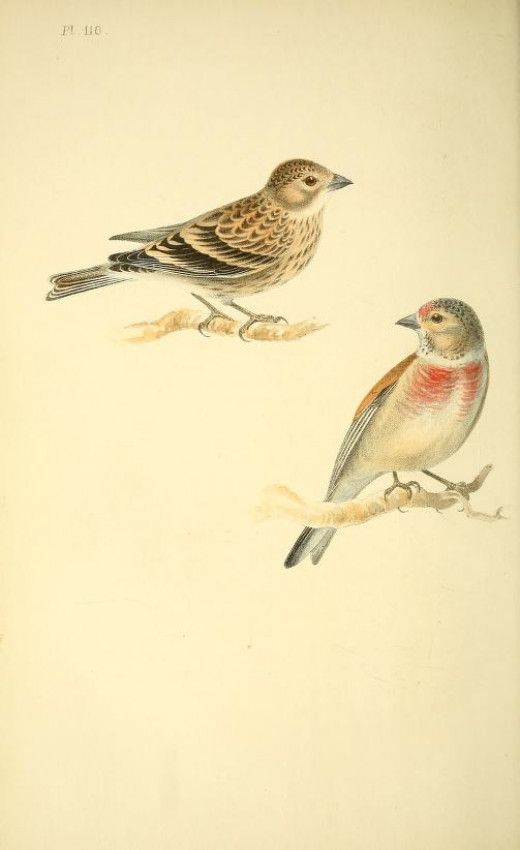 Coloured Illustrations of birds and their eggs Meyer 1842-1850